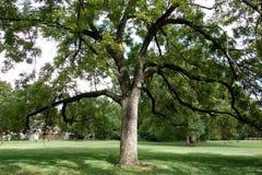Μεγάλο μαύρο δέντρο ξύλων καρυδιάς στοκ εικόνα