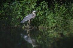 Μεγάλο μπλε wading πουλί ερωδιών Στοκ Φωτογραφίες