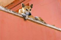 Μεγάλο ξανθό σκυλί που βρίσκεται και που εξετάζει τη κάμερα στοκ φωτογραφία με δικαίωμα ελεύθερης χρήσης