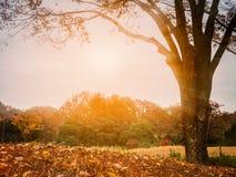 Μεγάλο παλαιό δέντρο στο δάσος: Εποχή φθινοπώρου Στοκ φωτογραφία με δικαίωμα ελεύθερης χρήσης