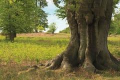 μεγάλο παλαιό δέντρο Στοκ Εικόνες