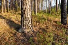 Μεγάλο παλαιό πεύκο ένα φθινόπωρο Στοκ Φωτογραφίες