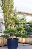 Μεγάλο πεύκο topiary με μορφή αειθαλούς δέντρου σύννεφων στο δοχείο Στοκ Εικόνες