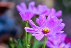 Μεγάλο πορφυρό λουλούδι Στοκ Φωτογραφία