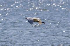 Μεγάλο πουλί τσικνιάδων που πετά στο καλύτερό του Στοκ φωτογραφία με δικαίωμα ελεύθερης χρήσης