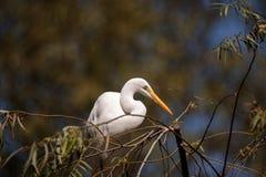 Μεγάλο πουλί τσικνιάδων, Ardea alba Στοκ φωτογραφία με δικαίωμα ελεύθερης χρήσης