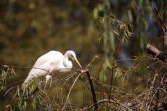 Μεγάλο πουλί τσικνιάδων, Ardea alba Στοκ Φωτογραφία