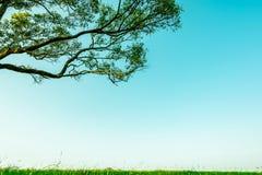 Μεγάλο πράσινο δέντρο με το όμορφο σχέδιο κλάδων και πράσινος τομέας χλόης με τα άσπρα λουλούδια στο σαφές υπόβαθρο μπλε ουρανού Στοκ εικόνα με δικαίωμα ελεύθερης χρήσης