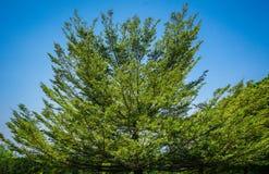 Μεγάλο πράσινο δέντρο ψηλό με το μπλε ουρανό ως υπόβαθρο - φωτογραφία στοκ φωτογραφίες