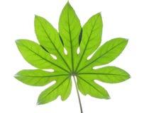 μεγάλο πράσινο φύλλο Στοκ φωτογραφία με δικαίωμα ελεύθερης χρήσης