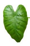 μεγάλο πράσινο φύλλο Στοκ Εικόνες