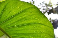 Μεγάλο πράσινο φύλλο arum κισσών με τη σταγόνα βροχής στοκ εικόνες