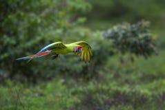 Μεγάλο πράσινο ambigua Macaw - Ara Στοκ Εικόνες