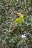 Μεγάλο πράσινο ambigua Macaw - Ara Στοκ Εικόνα