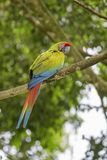 Μεγάλο πράσινο ambigua Macaw - Ara Στοκ εικόνα με δικαίωμα ελεύθερης χρήσης