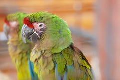 Μεγάλο πράσινο macaw, ambiguus Ara, επίσης γνωστό ως Buffon ` s macaw Στοκ φωτογραφία με δικαίωμα ελεύθερης χρήσης