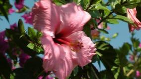 Μεγάλο ρόδινο Hibiscus λουλούδι απόθεμα βίντεο