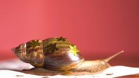 Μεγάλο σαλιγκάρι που κινείται αργά με τα αστέρια στο κοχύλι της απόθεμα βίντεο