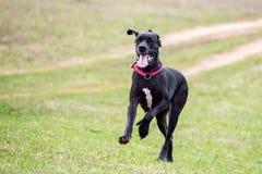 Μεγάλο σκυλί Δανών στοκ εικόνες