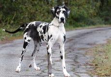 Μεγάλο σκυλί Δανών Harlequin Στοκ Εικόνες