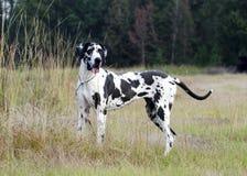 Μεγάλο σκυλί Δανών Harlequin Στοκ φωτογραφία με δικαίωμα ελεύθερης χρήσης