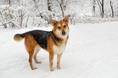 Μεγάλο σκυλί σε έναν χειμερινό περίπατο στοκ εικόνες με δικαίωμα ελεύθερης χρήσης