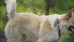 Μεγάλο σκυλί σε μια αλυσίδα απόθεμα βίντεο