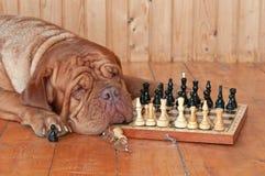μεγάλο σκυλί σκακιού χα& Στοκ εικόνα με δικαίωμα ελεύθερης χρήσης