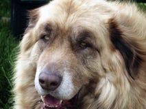 μεγάλο σκυλί στοκ εικόνα με δικαίωμα ελεύθερης χρήσης