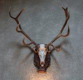 Μεγάλο τρόπαιο κυνηγιού ελαφιών Στοκ φωτογραφίες με δικαίωμα ελεύθερης χρήσης