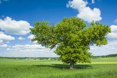 Μεγάλο φυλλώδες δέντρο στον τομέα Στοκ εικόνα με δικαίωμα ελεύθερης χρήσης