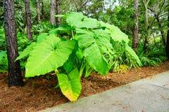 Μεγάλο φυτό φύλλων στο βραδύτατο κήπο φυτών της Φλώριδας Στοκ Φωτογραφίες