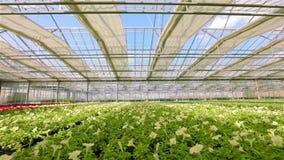 Μεγάλο φωτεινό θερμοκήπιο με την πετούνια Κίτρινη ανθίζοντας πετούνια Ανάπτυξη των λουλουδιών σε μια βιομηχανική κλίμακα Πετούνια φιλμ μικρού μήκους