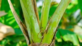 μεγάλο φωτεινό στενό πράσινο δέντρο φύλλων μπανανών επάνω στοκ φωτογραφία με δικαίωμα ελεύθερης χρήσης