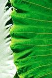 μεγάλο φύλλο araceae Στοκ φωτογραφία με δικαίωμα ελεύθερης χρήσης