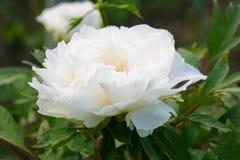Μεγάλο όμορφο άσπρο με μορφή δέντρου peony λουλούδι στον κήπο Στοκ Εικόνα