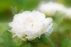 Μεγάλο όμορφο άσπρο με μορφή δέντρου peony λουλούδι στον κήπο Στοκ Εικόνες