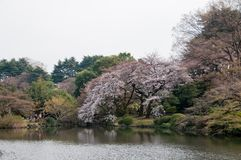 Μεγάλο όμορφο δέντρο sakura ανθών κερασιών πλήρους άνθισης ρόδινο με το ασβέστιο στοκ φωτογραφία με δικαίωμα ελεύθερης χρήσης