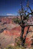μεγάλο δέντρο φαραγγιών Στοκ Φωτογραφία