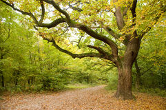 μεγάλο δρύινο δέντρο Στοκ φωτογραφία με δικαίωμα ελεύθερης χρήσης