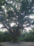 Μεγάλο banyan δέντρο στοκ φωτογραφίες με δικαίωμα ελεύθερης χρήσης