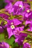 Μεγάλο bougainvillea στοκ φωτογραφίες