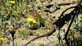 μεγάλο colilarga lagartija algirus Psammodromus psammodromus Στοκ Φωτογραφίες