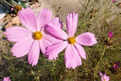 Μεγάλο cosmosï ¼ ˆGesang flowersï ¼ ‰ Στοκ Φωτογραφία