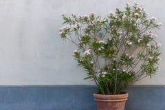 Μεγάλο flowerpot αργίλου με το άσπρο δέντρο λουλουδιών ενάντια στον άσπρο και μπλε τοίχο Υπαίθρια και διακόσμηση οδών Στοκ Εικόνες