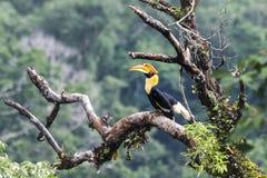 Μεγάλο Hornbill στη δασική Ταϊλάνδη Στοκ φωτογραφία με δικαίωμα ελεύθερης χρήσης