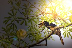 Μεγάλο hornbill στο kao Yai στοκ φωτογραφίες με δικαίωμα ελεύθερης χρήσης
