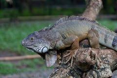 μεγάλο iguana Στοκ Φωτογραφίες
