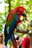 Μεγάλο macaw που τρώει μια κινηματογράφηση σε πρώτο πλάνο καρυδιών στοκ φωτογραφία