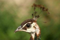 μεγάλο peacock εικόνας Στοκ εικόνα με δικαίωμα ελεύθερης χρήσης